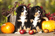 Bernese Mountain Dog puppy portrait in garden