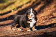 Bernese mountain puppy standing in the wood