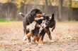 Two bernese mountain puppies playing in the park in autumn