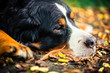 Bernese mountain dog resting in autumn