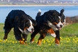 Two bernese dog run in the meadow